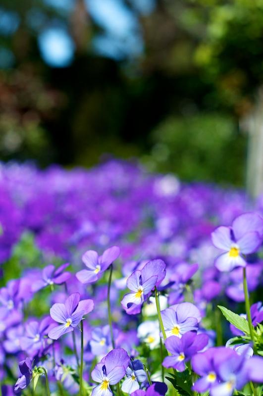 violets 101