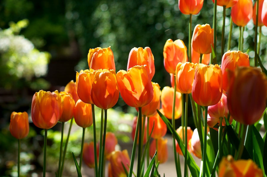 tulips 104