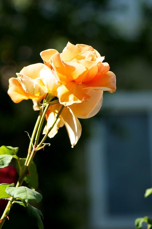 rose 109