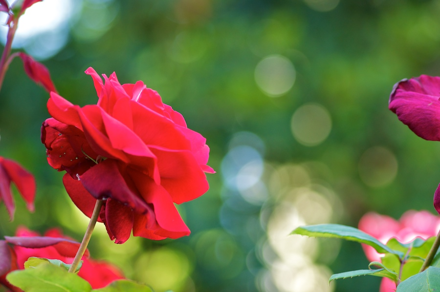 rose 110