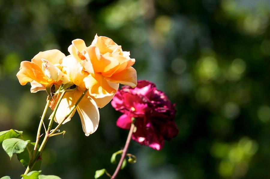 rose 111