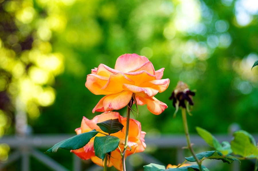 rose 113