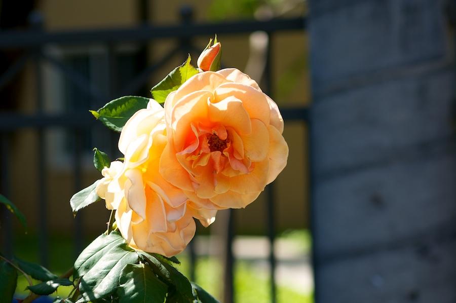 rose 115