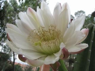 Night-blooming cactus