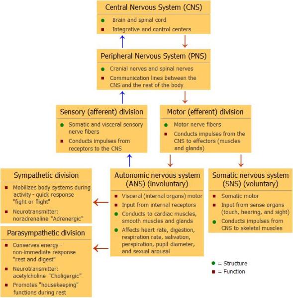 nerve_system_chart_654px