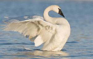 trumpeter-swan.jpg