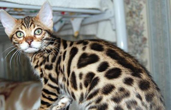 кот или леопард