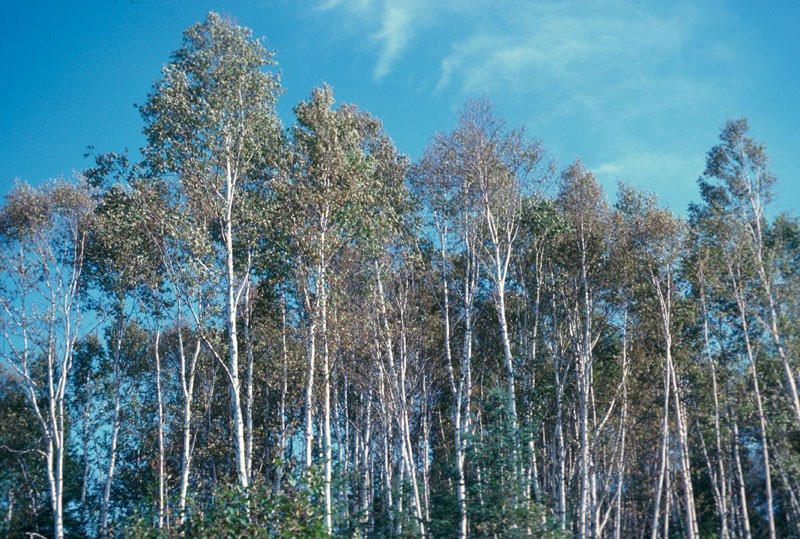 birches4
