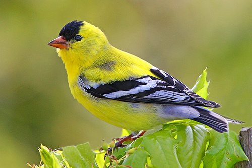 American Goldfinch in Canada