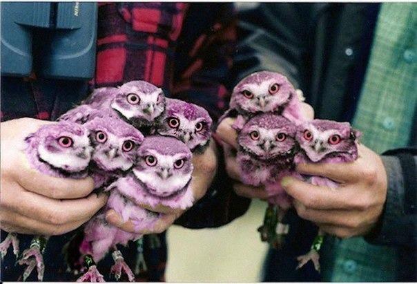 фиолетовые совы