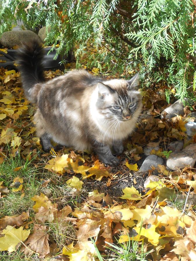 кот на кленовых листьях