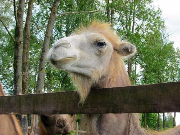 Эти забавные верблюды