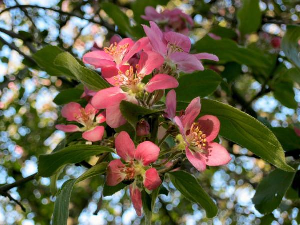 китайская яблоня