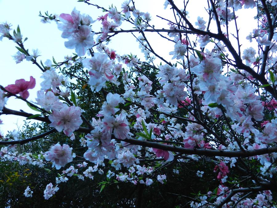 цветение персиков.JPG