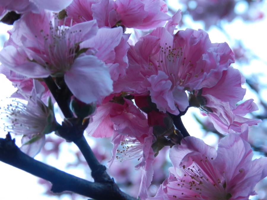 цветы персиков.JPG