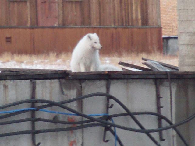 Pyramiden Arctic Fox 6
