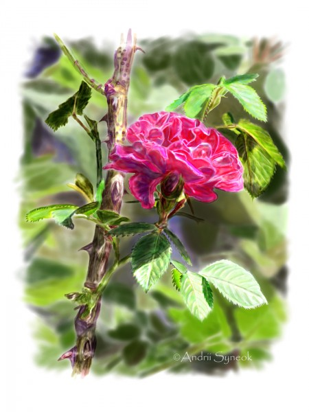 Red rose on a rosebush branch. With background _Internet_x1440