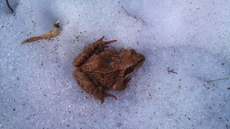 Жизнь в крепости не замирает ни на миг. Вот такую лягушечку мы в феврале обнаружили.