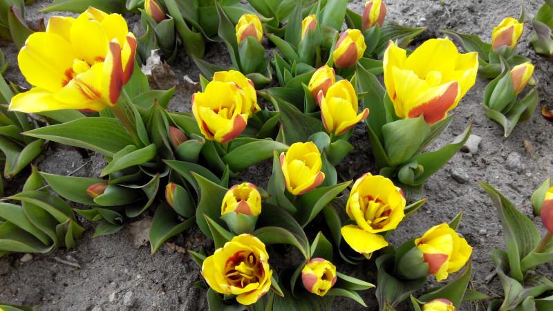 А ещё в крепости зацветают самые первые в городе тюльпаны.