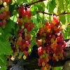Red Grapes Wallpapers 3.jpg