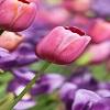 Spring-tulips-in-pastel-colors.jpg
