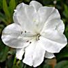 white-azalea.png