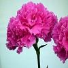 carnatiionflowers31.jpg