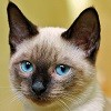 -Siamese-Cats-siamese-cats-35379660-480-640.jpg