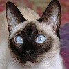 Beautiful-Siamese-siamese-cats-18845226-1024-768.jpg