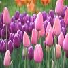 pinkpurpletulips.jpg
