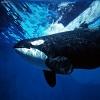 Orca_Whale_Underwater.jpg