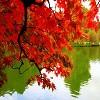 red-autumn-leaves-on-lake-3.jpg