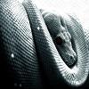 Snake-Albinism-Wallpaper-High-Revolution.jpg