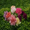 Carnations Flowers, Herbal supplements too For Body system.jpg