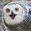 11_snowy_owl.jpg