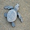 Turtle preserve_ Olive Ridley hatchling headed to sea_09.jpg