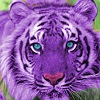 purple_tiger_by_lyster94-d4uni0c.jpg