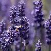 lavender-lemonade-600x600.jpg
