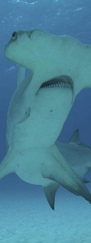 great-hammerhead-shark.jpg