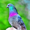 rainbow-pigeon-balram-panikkaserry.jpg