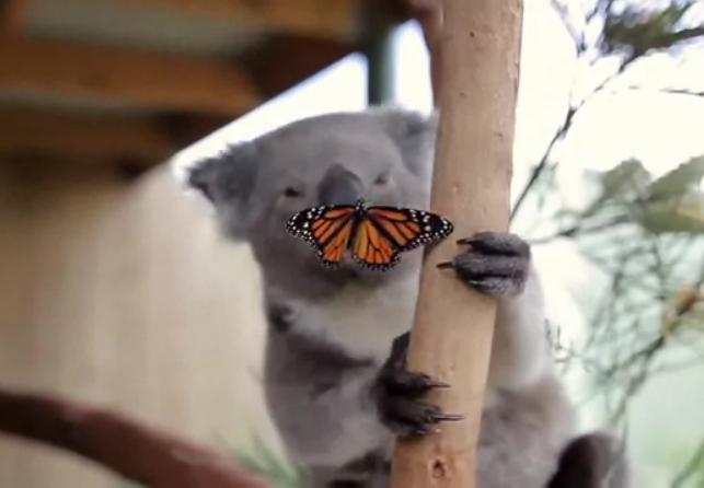коала с бабочкой