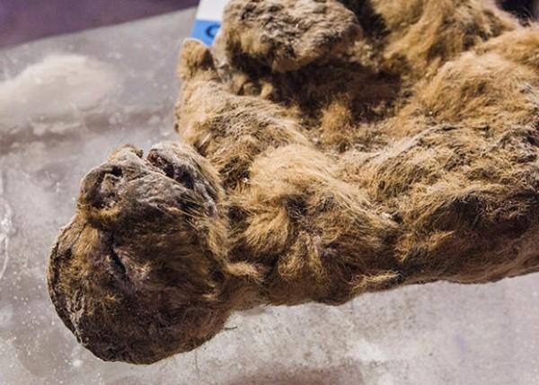 Мумия замёрсшего древнего львёнка.jpg