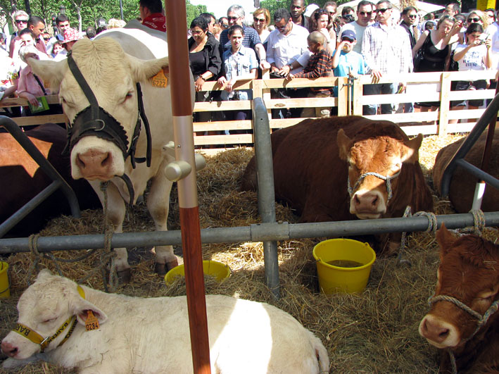 IMG_6405 NC vaches