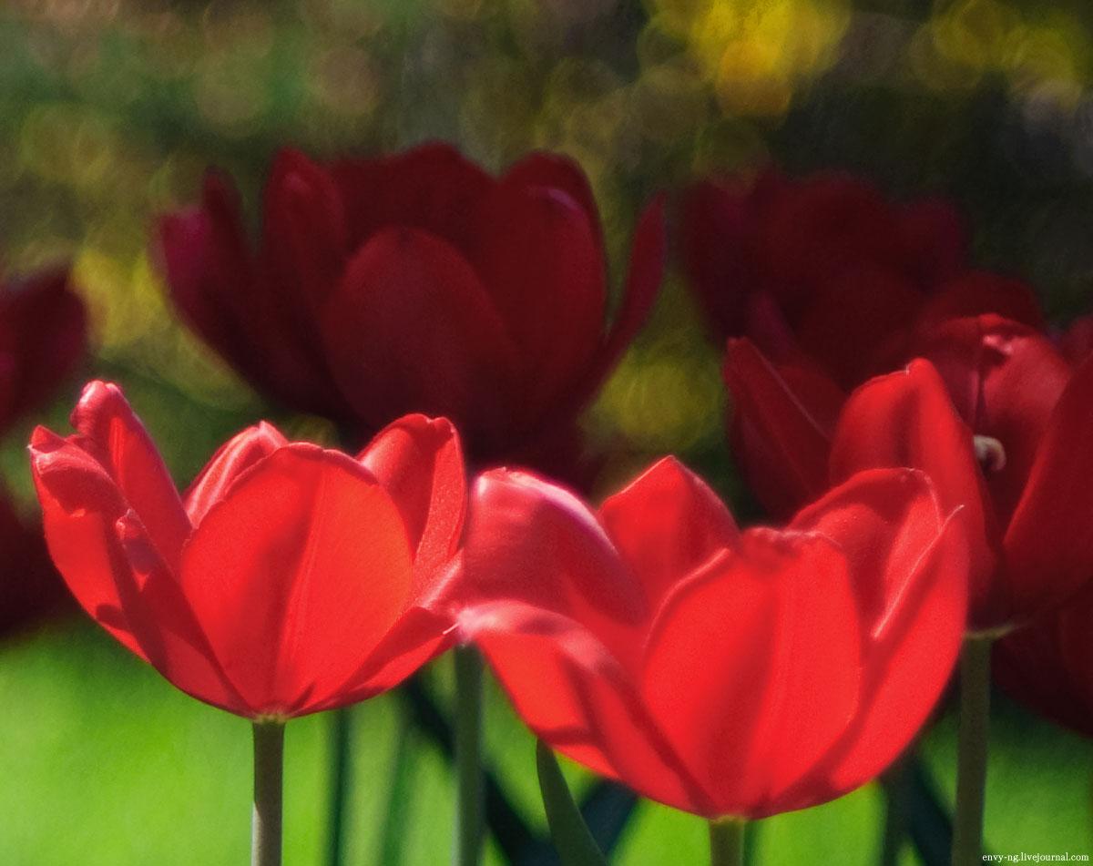 tulipa_n