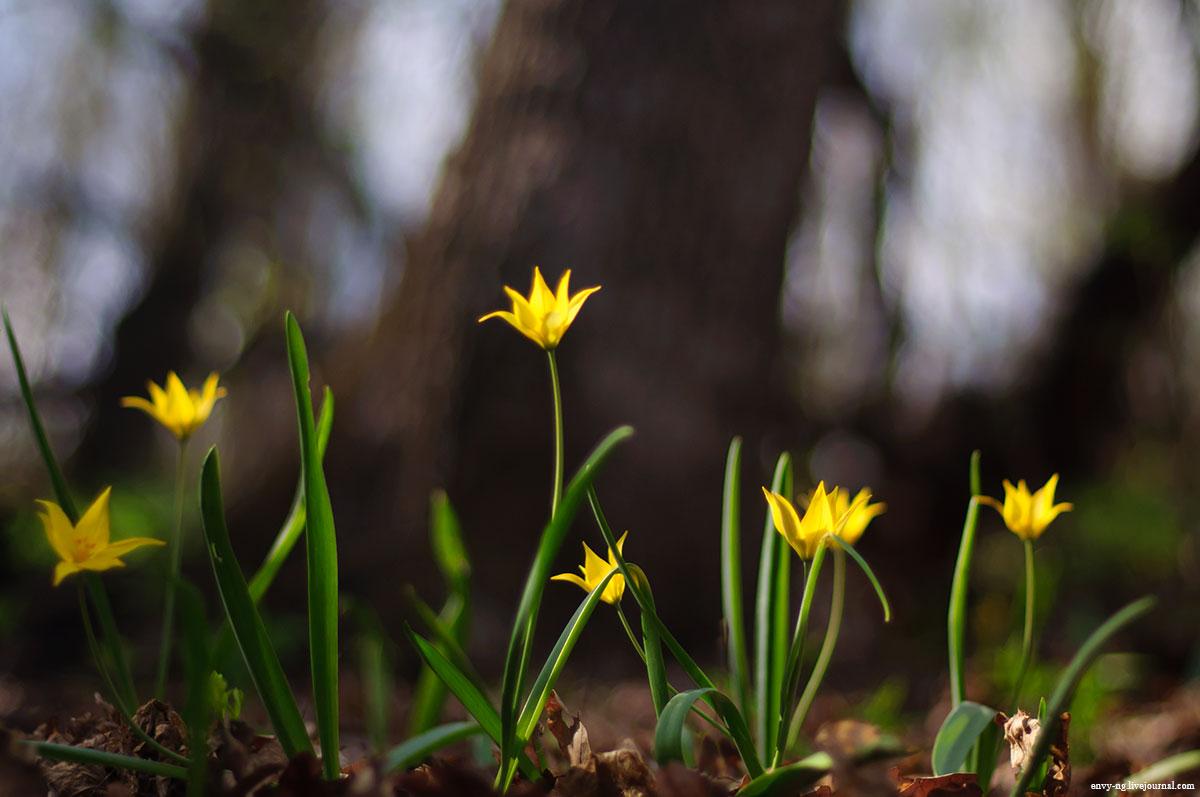 tulipa_001