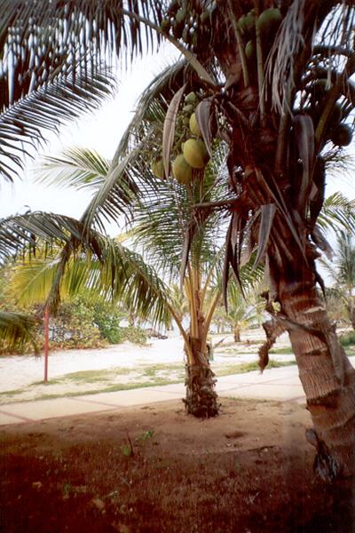varaderococonut-1