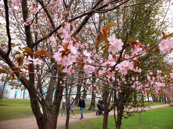 Сакура цветёт в саду у Смольного института 27 апреля 2017 года
