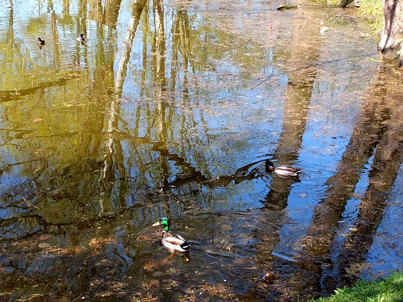 На прудах только утки разные DSCF7744