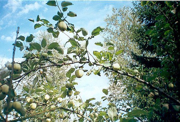 яблоки-дуга