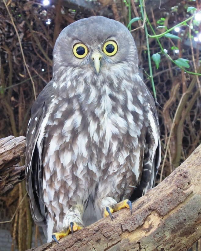 mesmerized owl